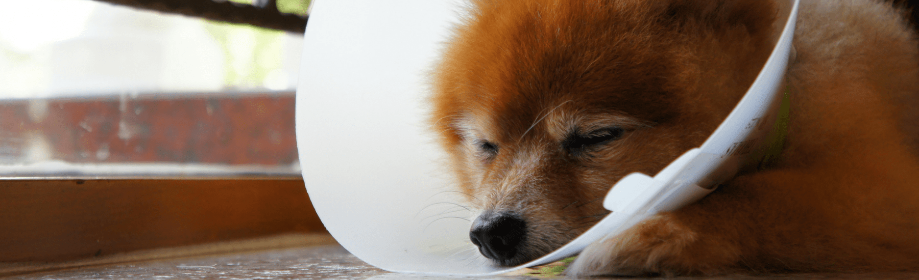 Sleeping dog wearing a cone