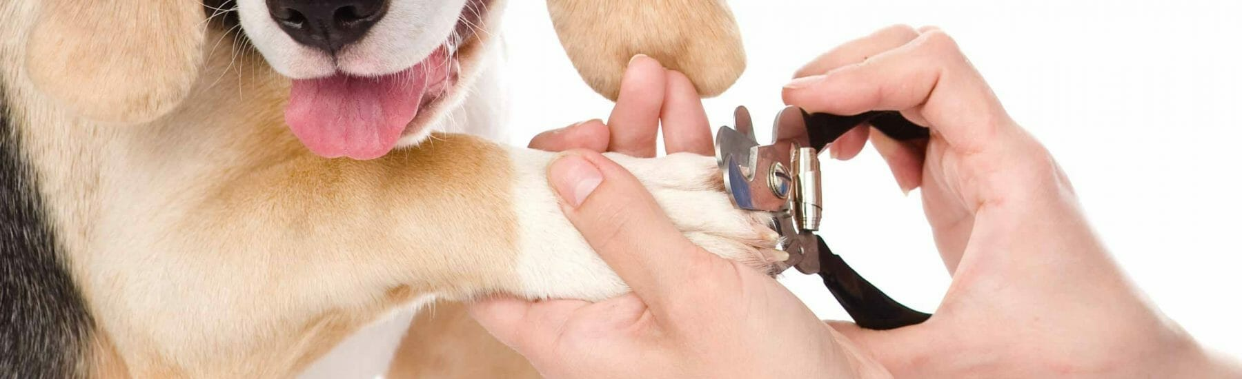 Hands of a person trimming the nails of a dog