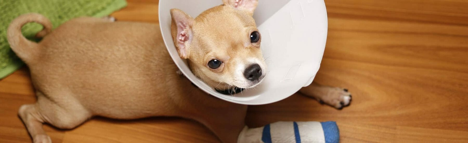 Dog with a bandaged arm wearing a cone and lying down