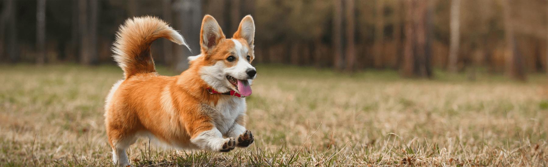Corgi running in grass
